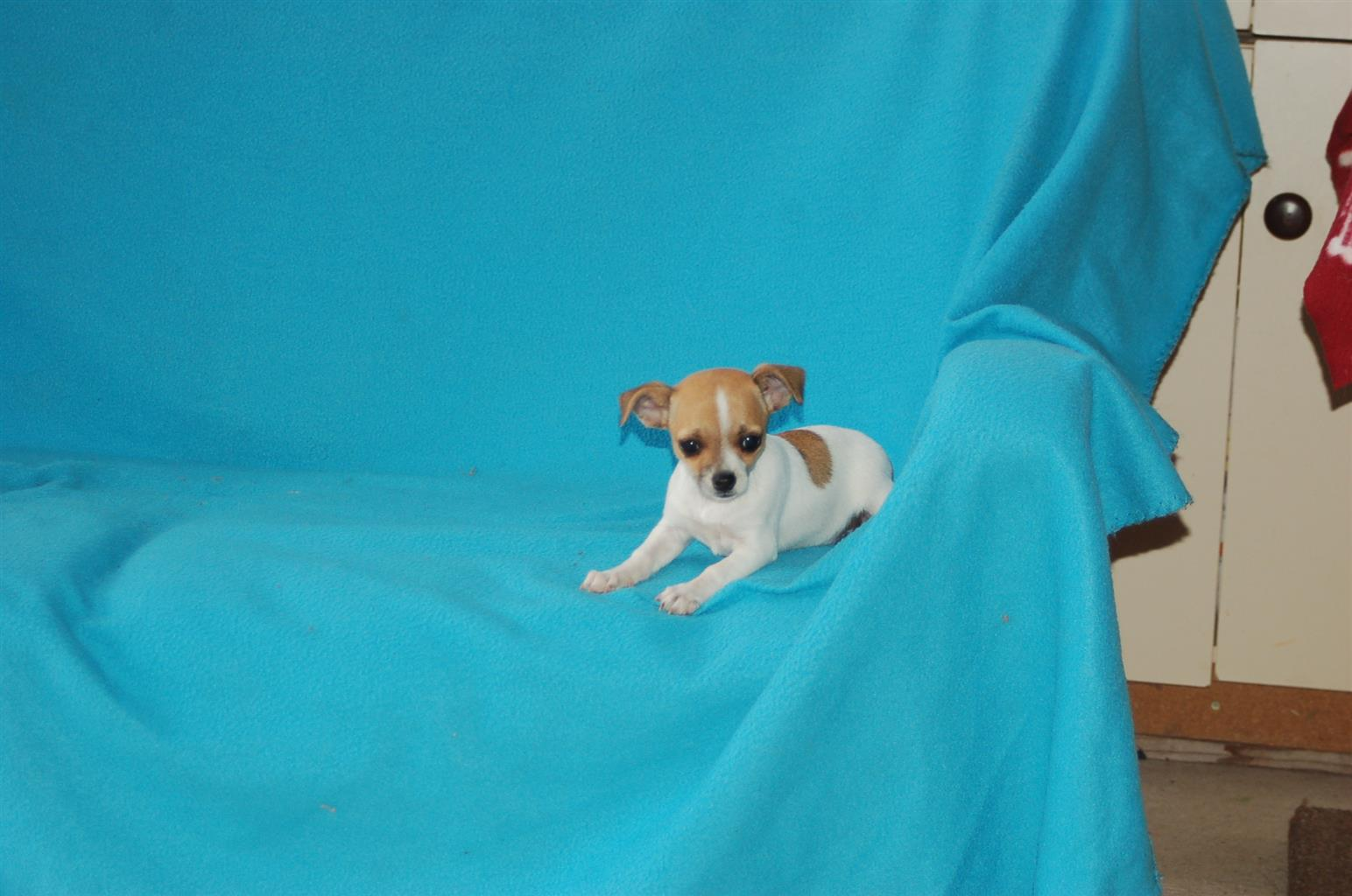 Chihuahua puppies and Yorshire terrier puppies for sale