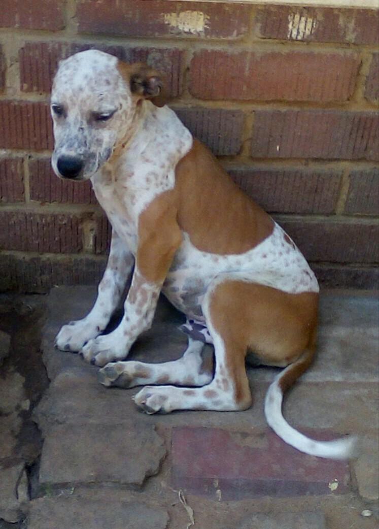 German Pointer X Fox Terrier puppy