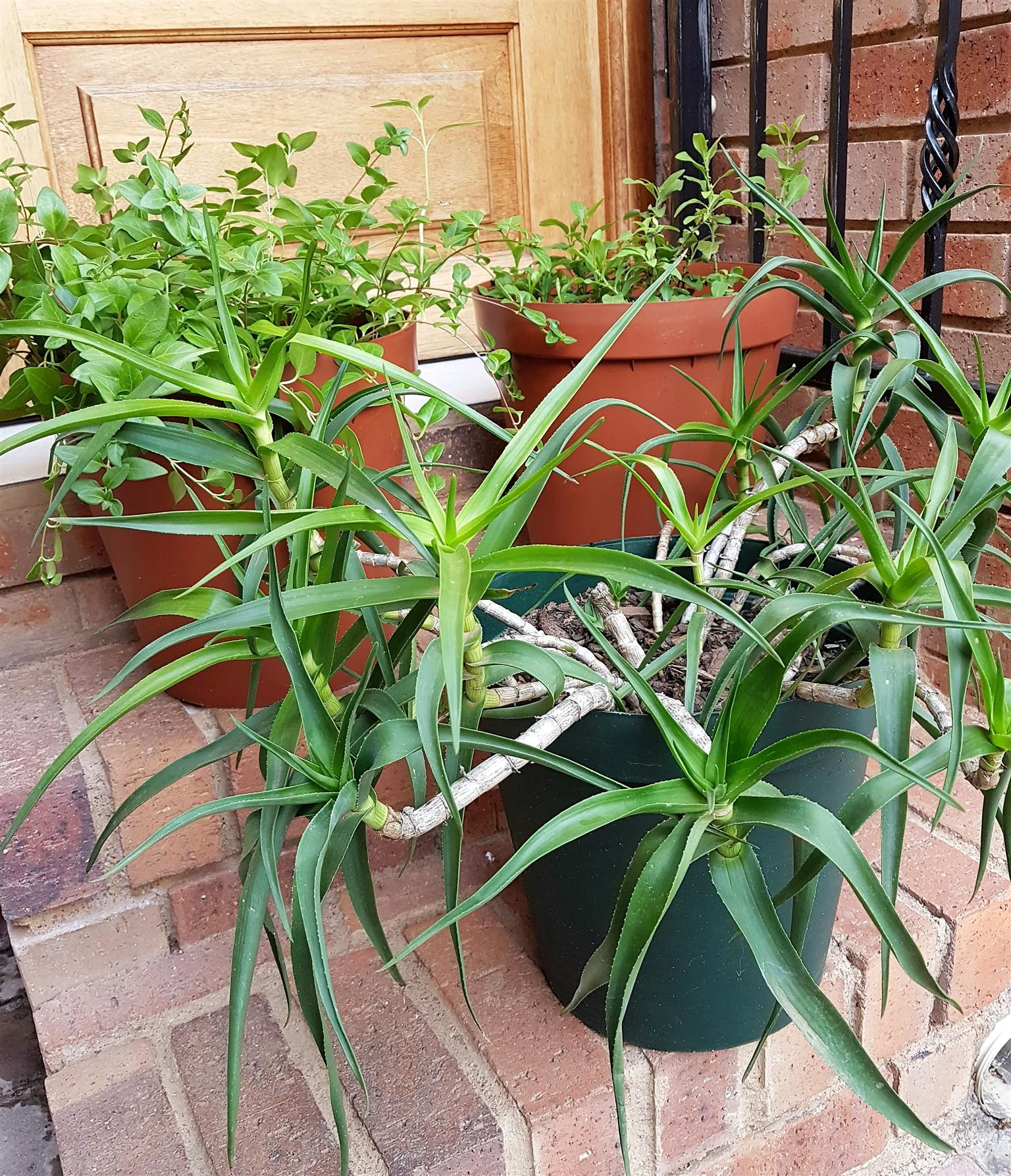 Low Maintenance Plants in Pots