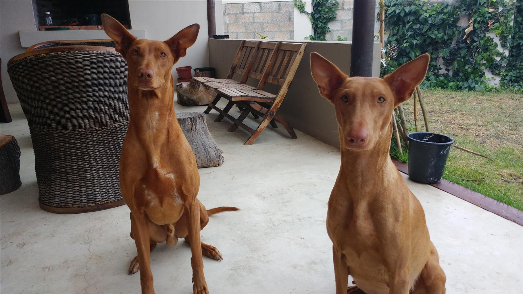 Pharaoh Hound Puppies: Royal Red Beauties: (2nd ever Pharaoh hound litter born in South Africa)