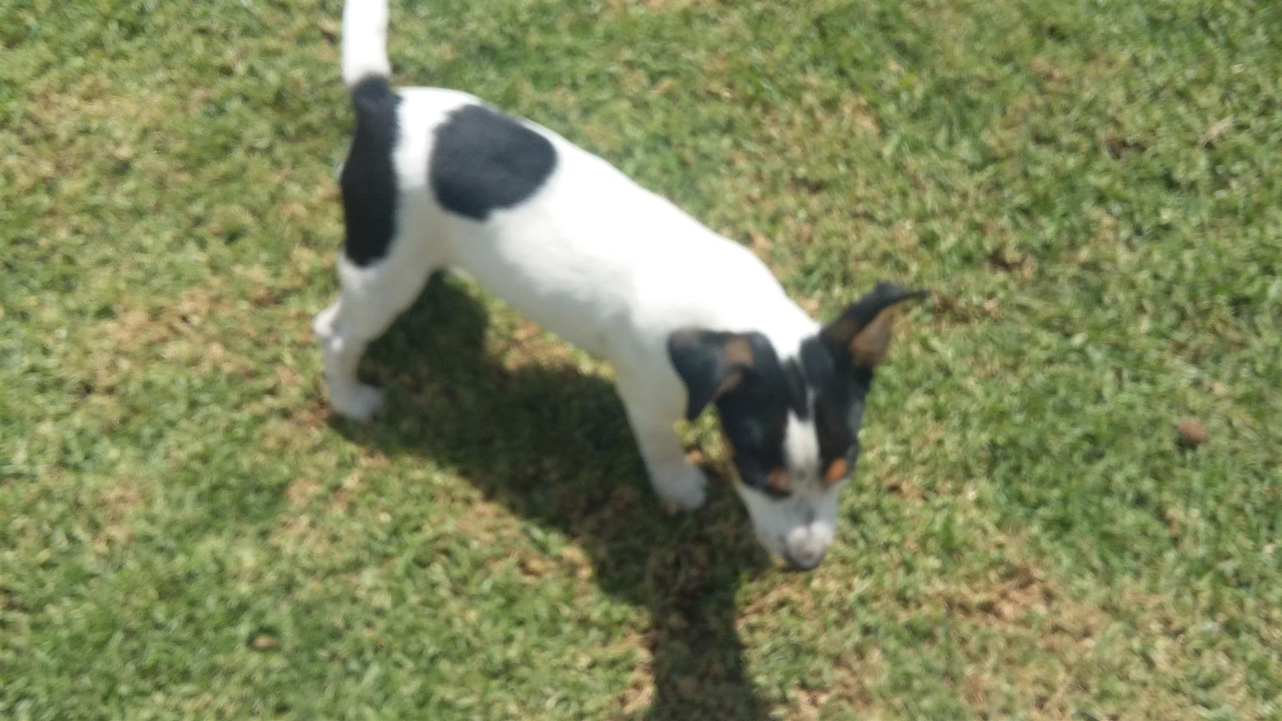 Jack Russel Female Puppies