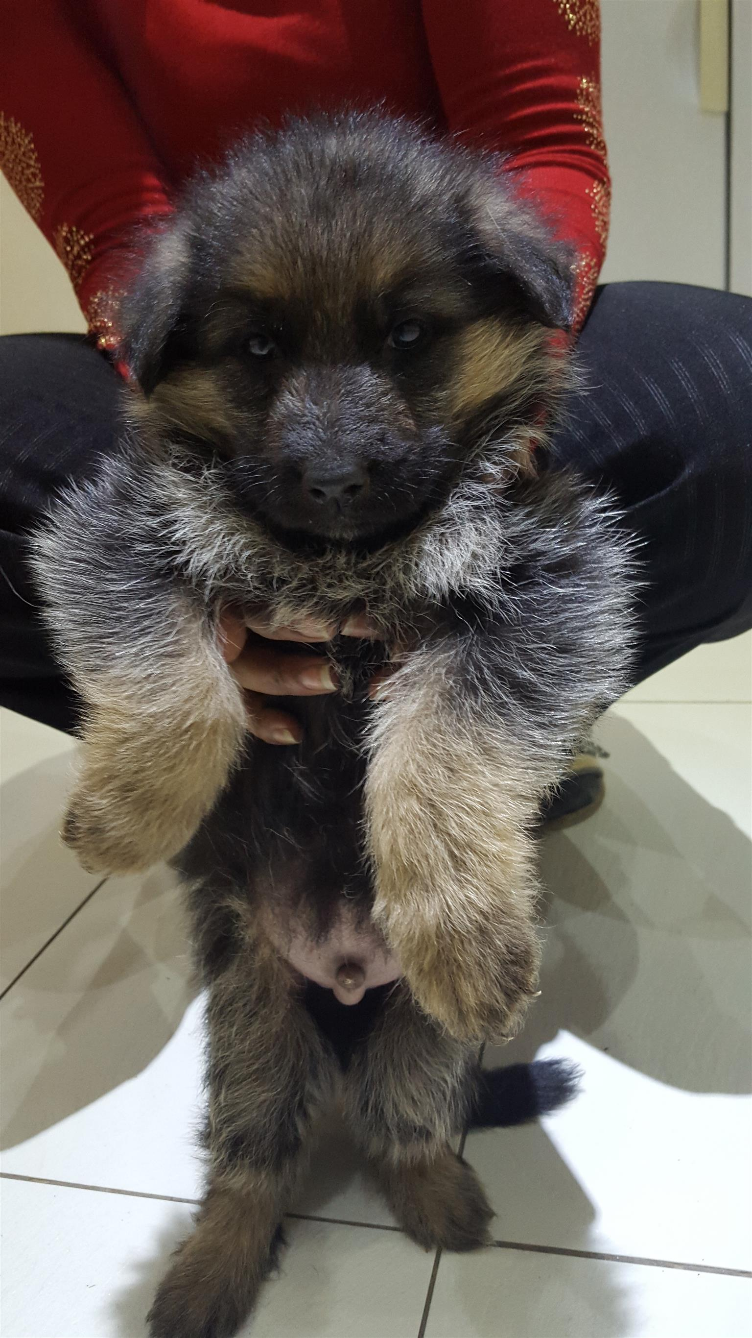 Pedigreed GSD puppies for sale, absolutely stunning and healthy