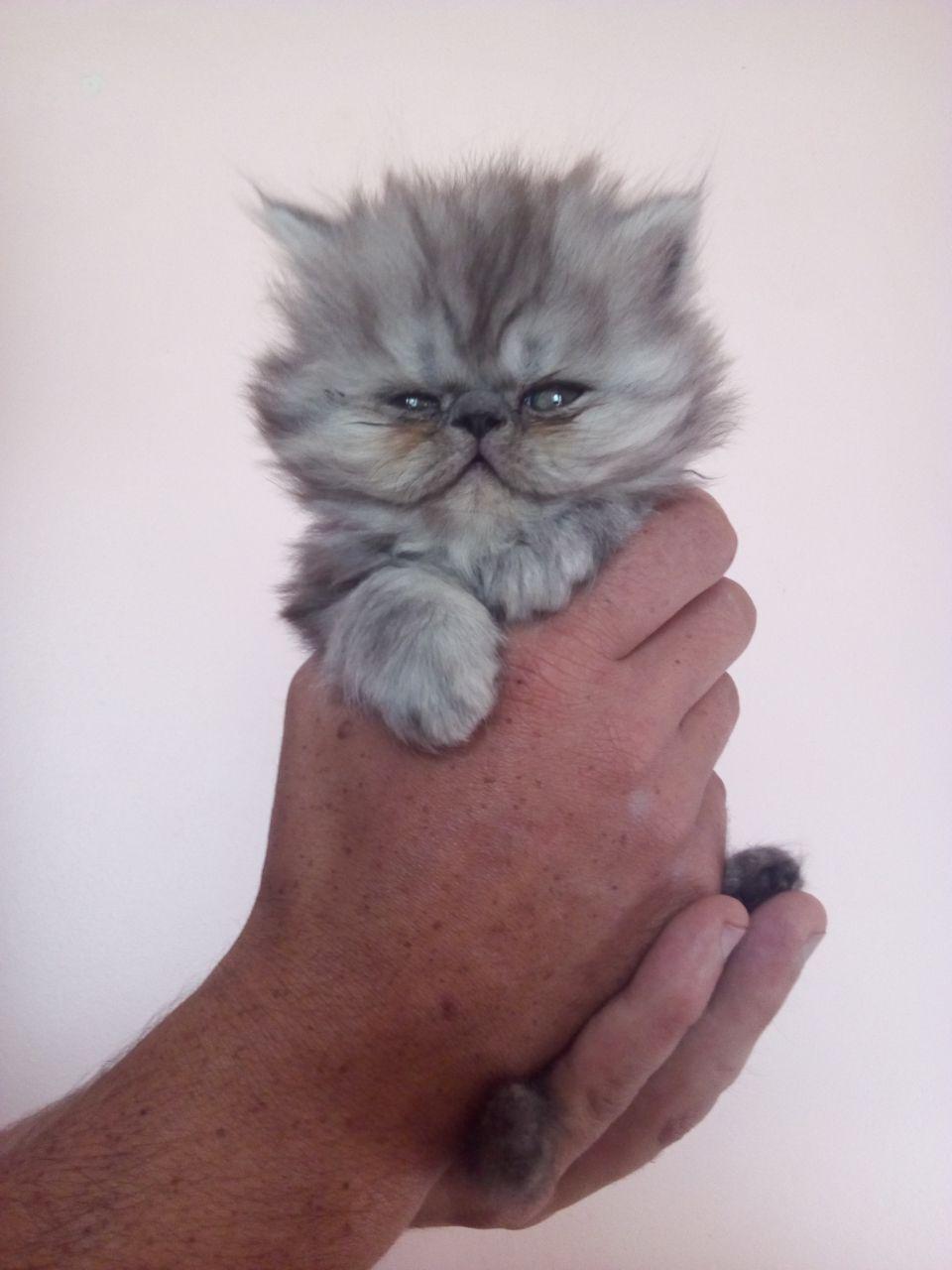 Flat face Persian kittens
