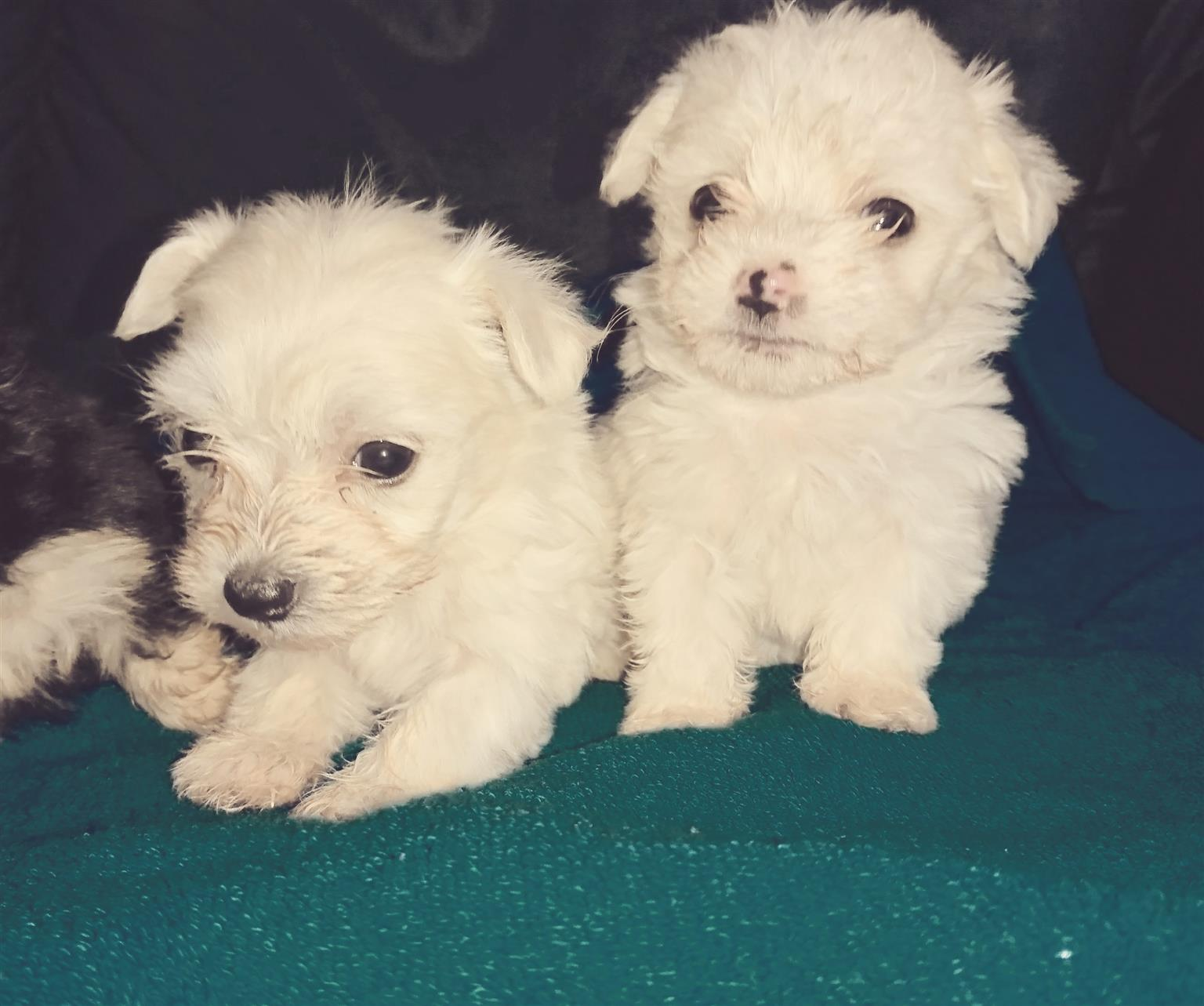 Miniature Morkies