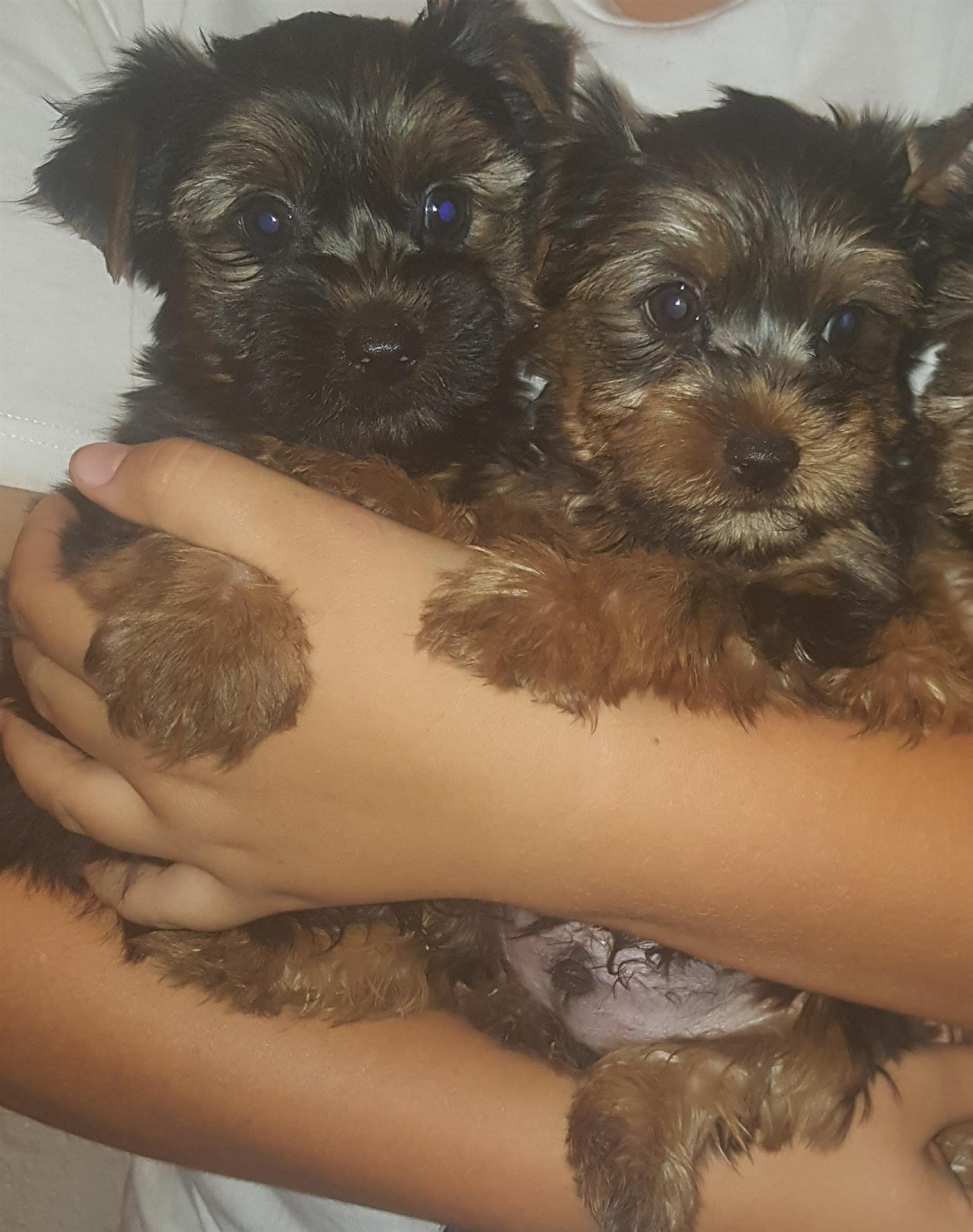Yorkshire terrier male puppies