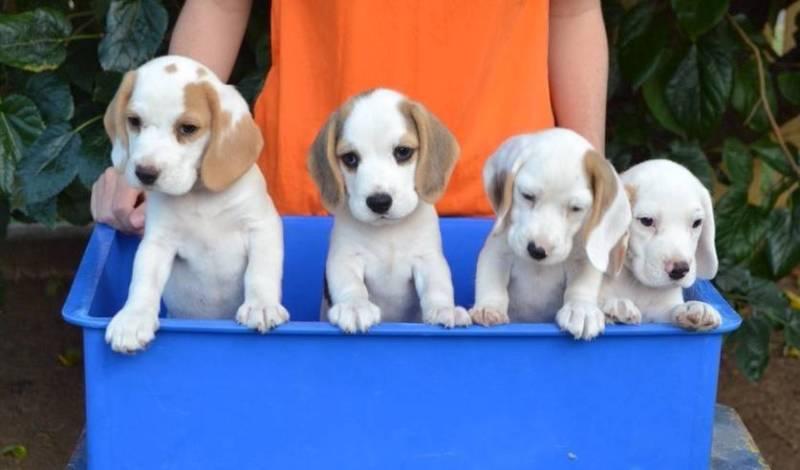 Purebred Beagle Puppies