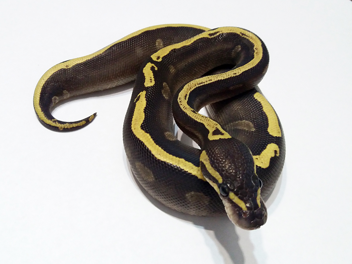 GHI Mojave Yellow Belly Ball Python Female
