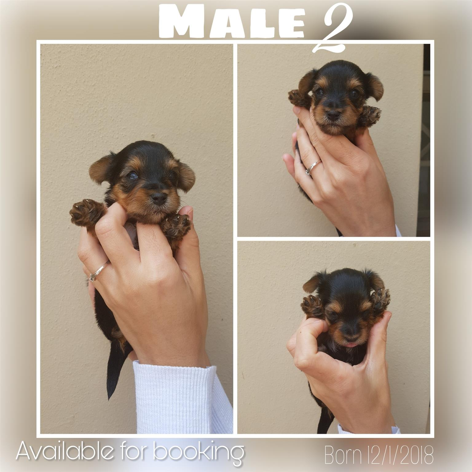 Yorkies / Yorkshire terrier pups for sale