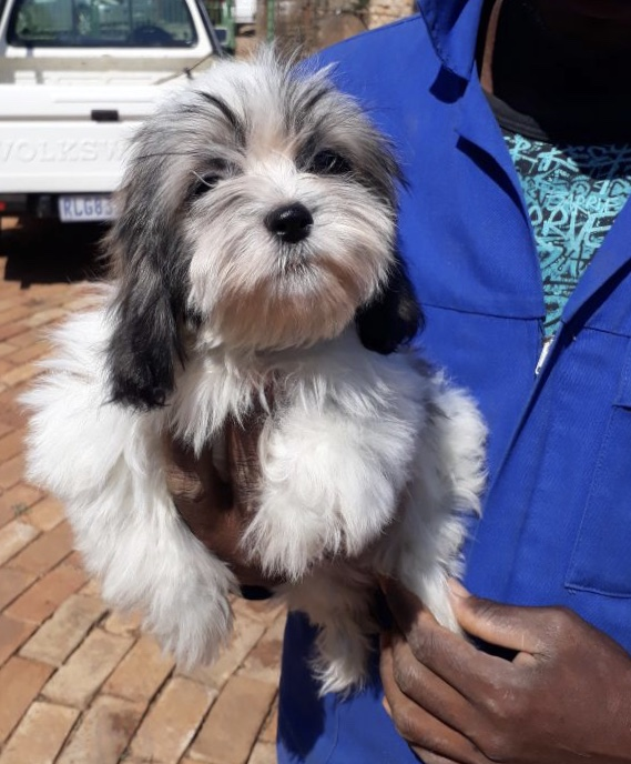 """Shih Tzu male puppy for sale"