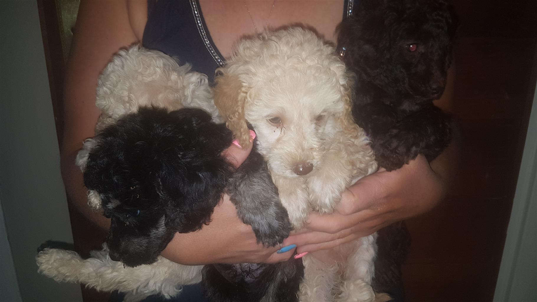 french poodle puppies
