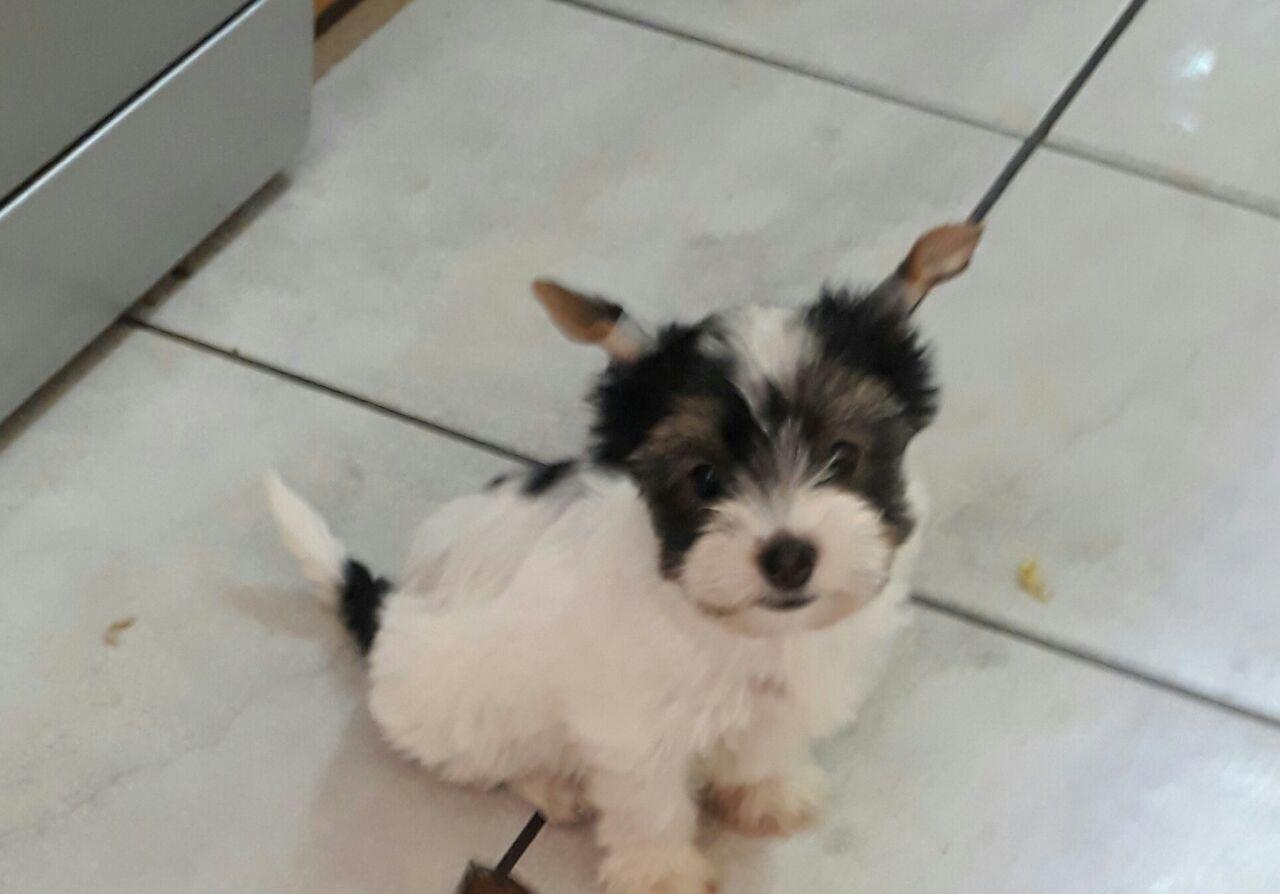 Yorkie Puppy Biewer Male