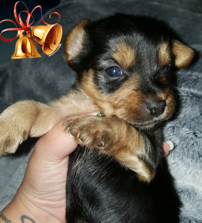 Registered Pocket Size Yorkshire Terriers