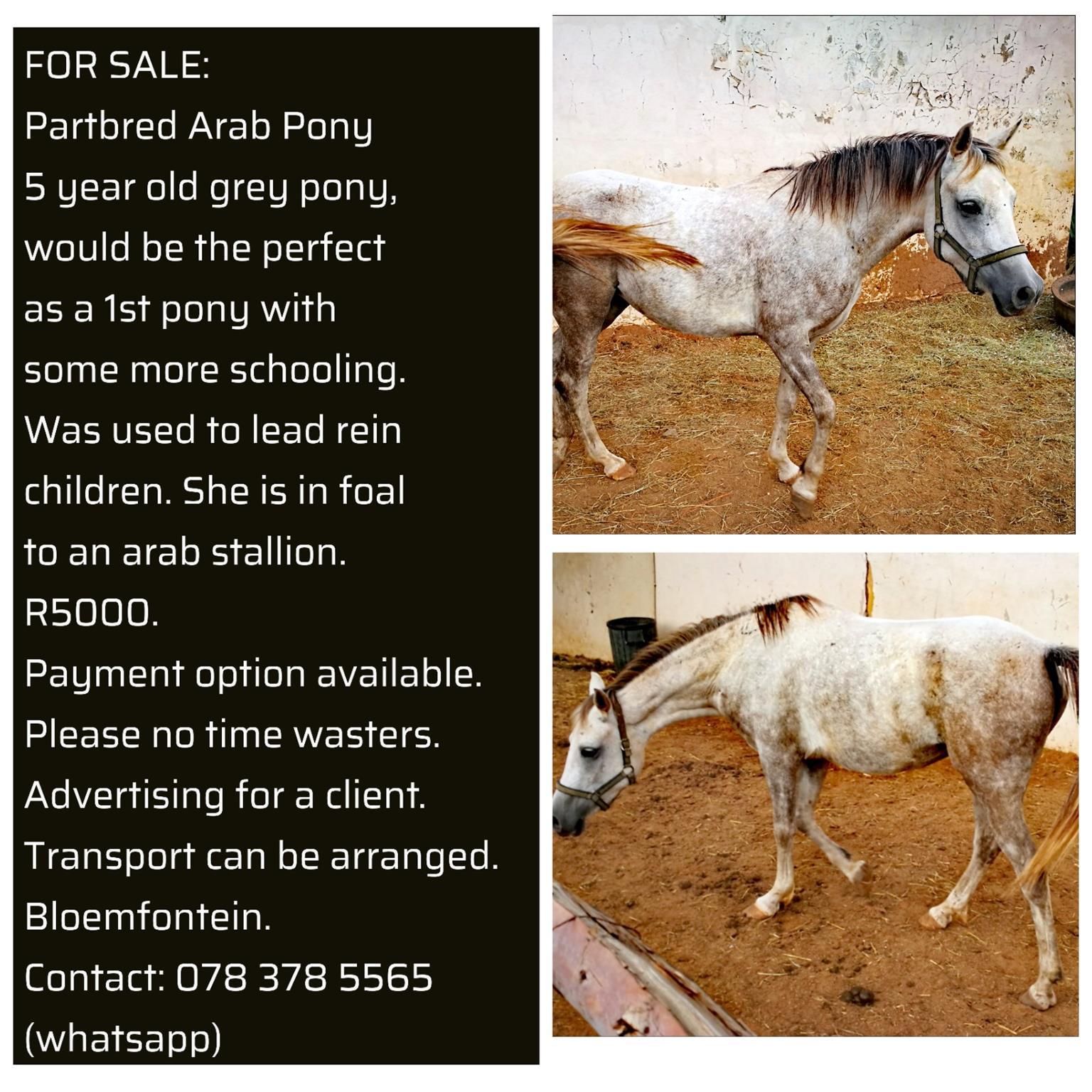 Partbred Pony Mare