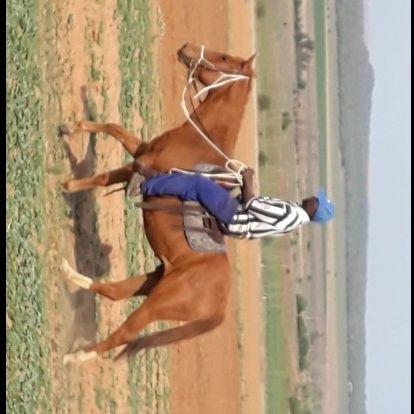 Gerigistreerde quarter horse