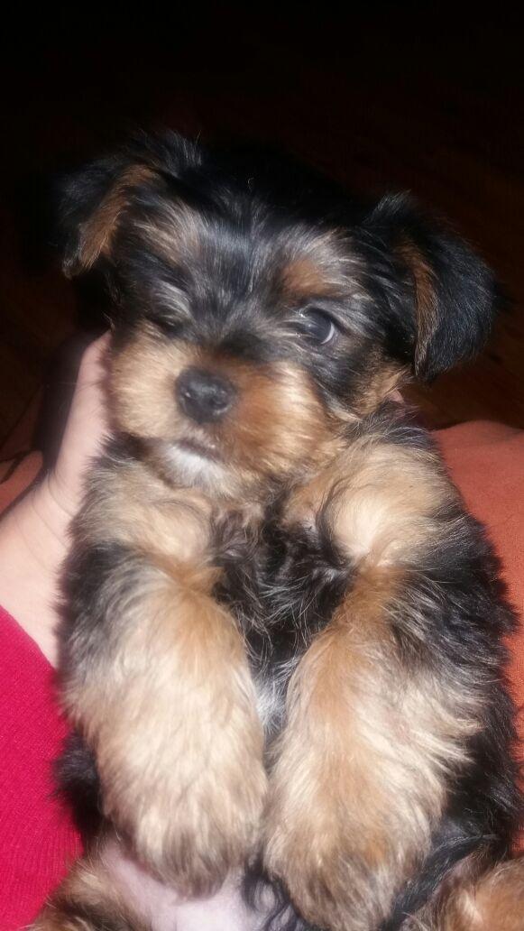 Yorishire puppies small breed
