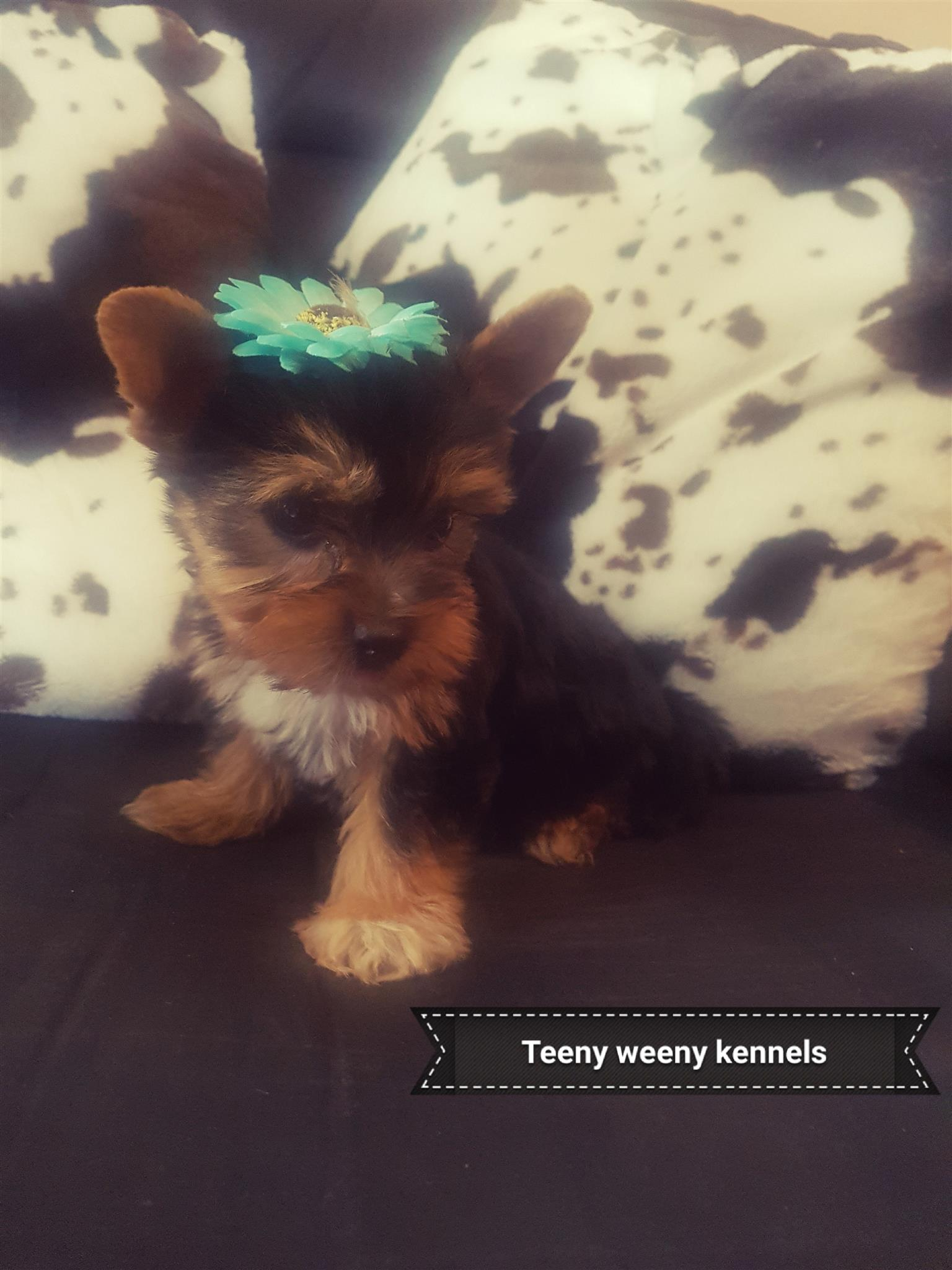 Traditional female and male Yorkies, 8 weeks, vetchecked, vaccinated and dewormed