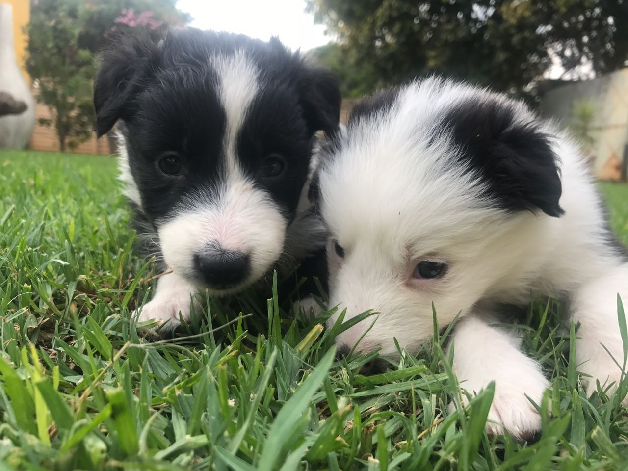 BORDER COLLIE PUPPIES FOR SALE | Junk Mail