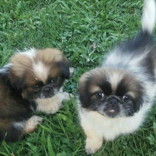 Pikenese puppies