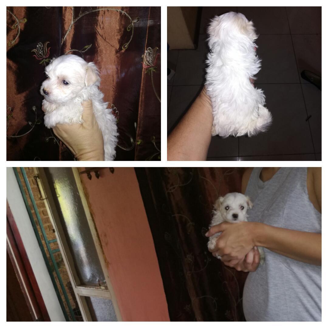 Female miniature Maltese pups.