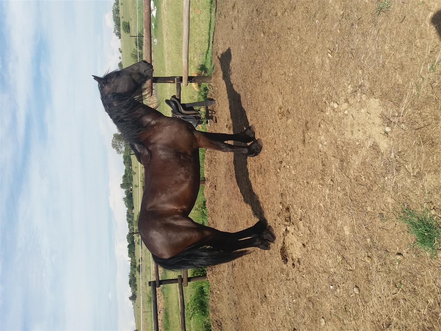 Registered Friesian mare for sale