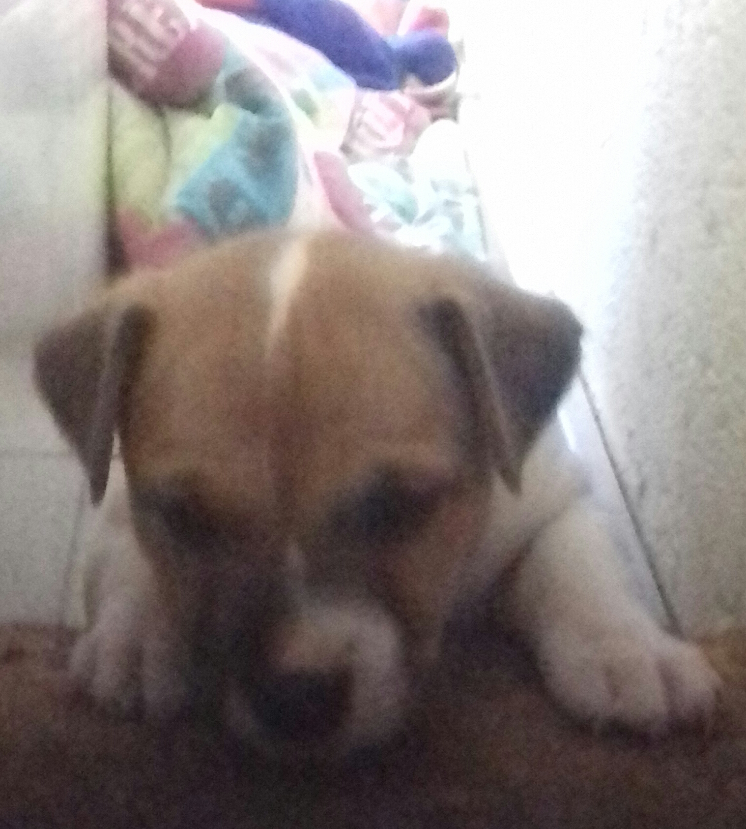 Jack Russel Short leg female puppy