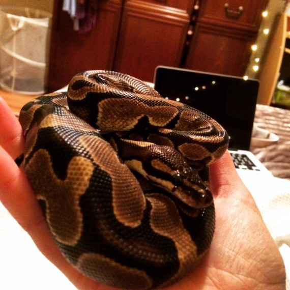 Sold Royal/ball Python For Sale