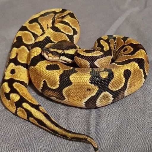 BANDIT ball pythons availability list