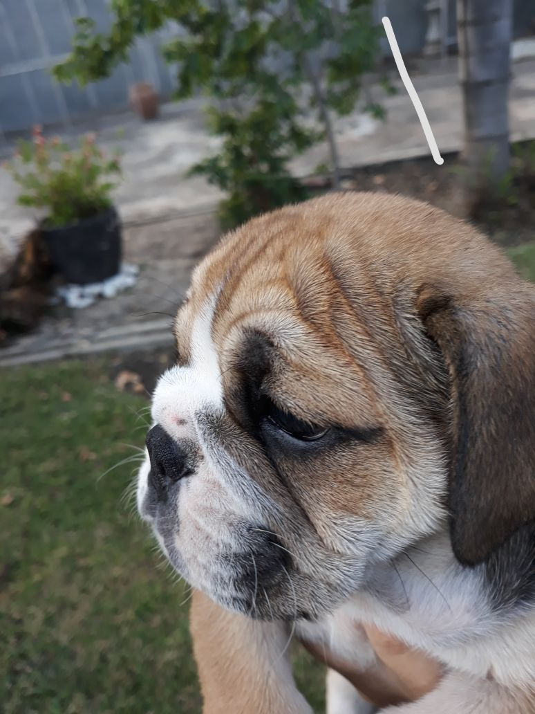 Beautiful English Bulldog puppies available and ready to join their new families!