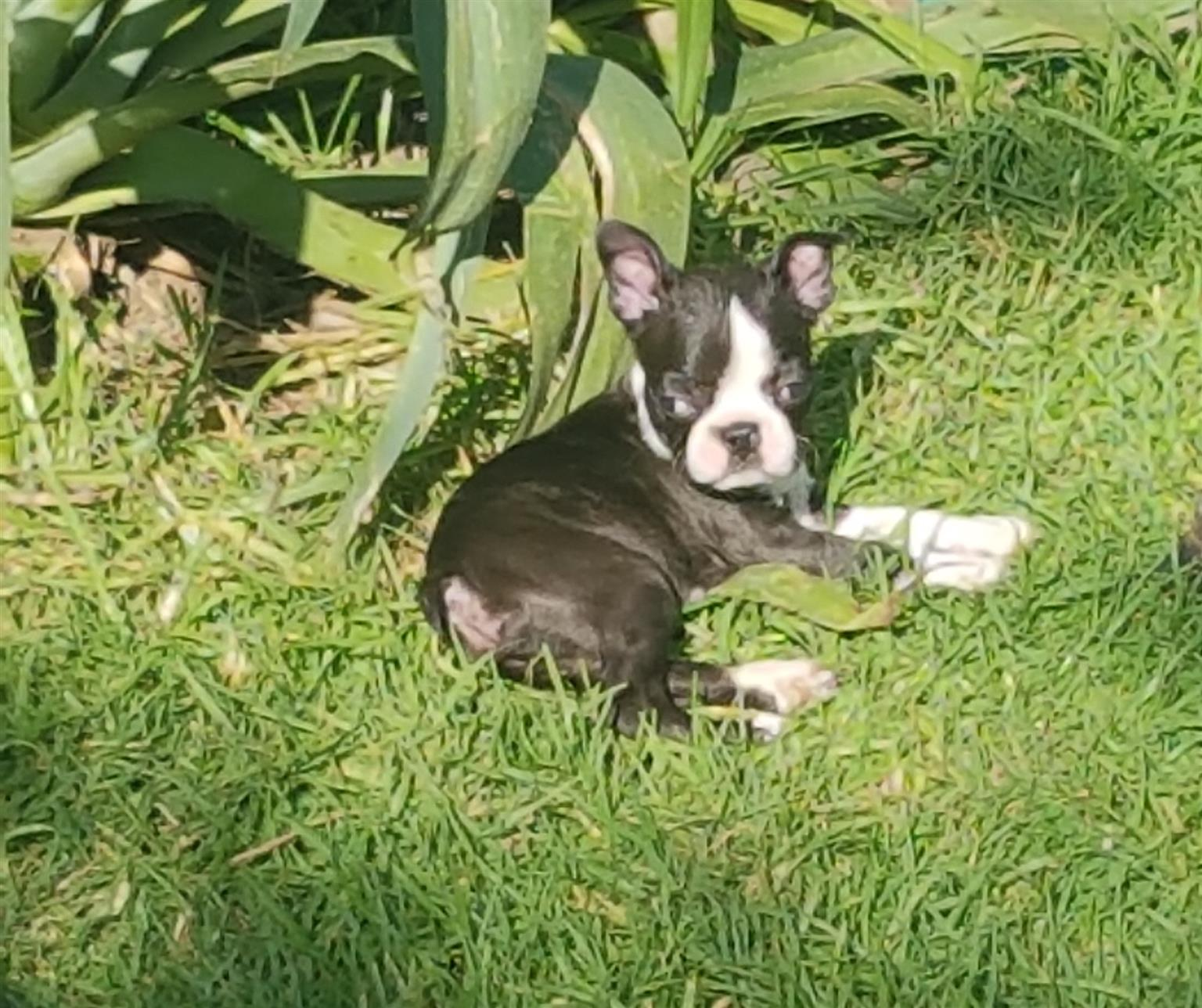 Adorable Pure bred Boston Terrier puppies for sale