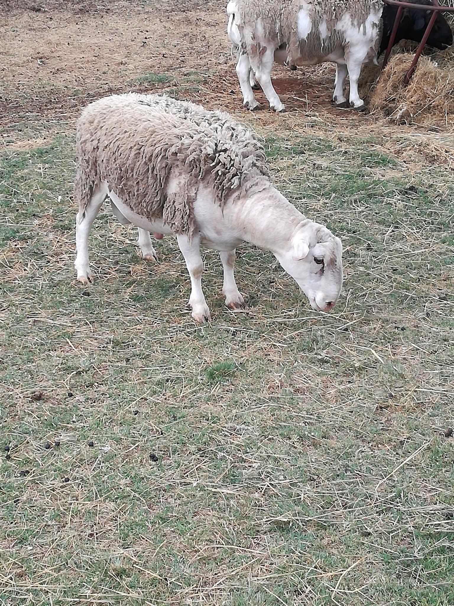 White Head Dorper Ram