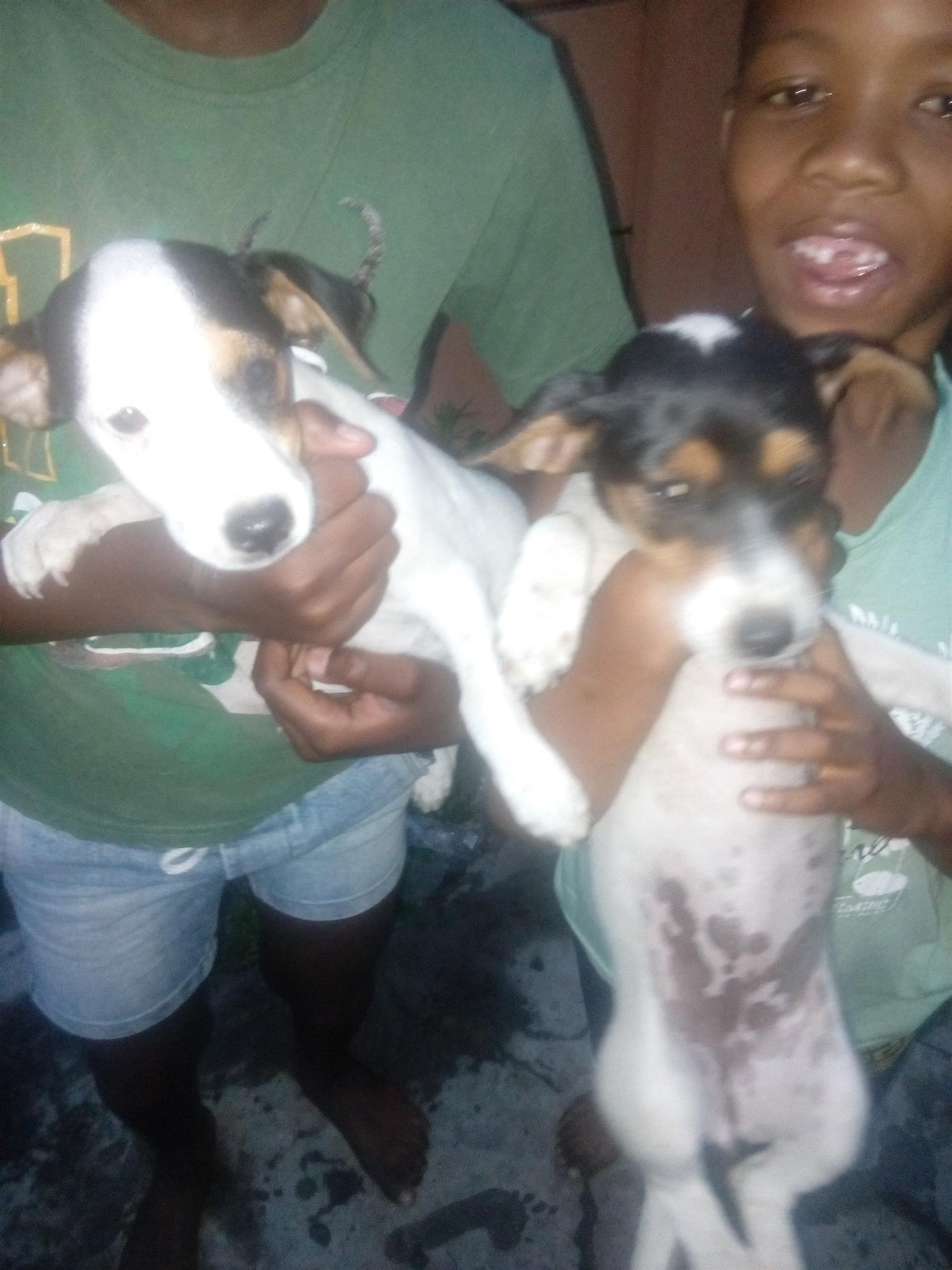 Thorough bred Jack Russells for sale