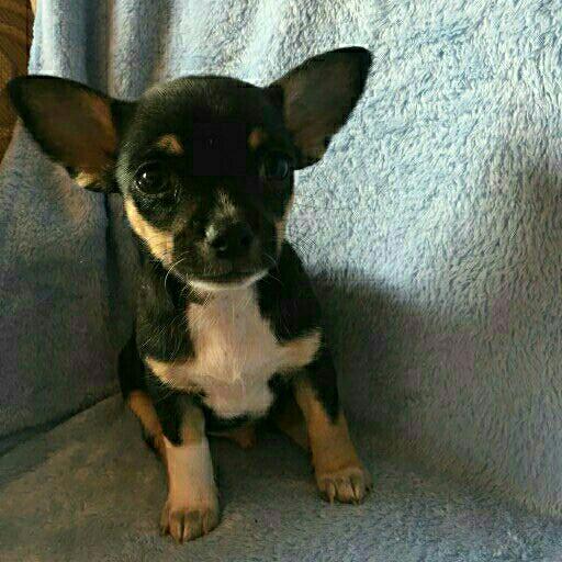 Tri colour Chihuahua male puppy for sale