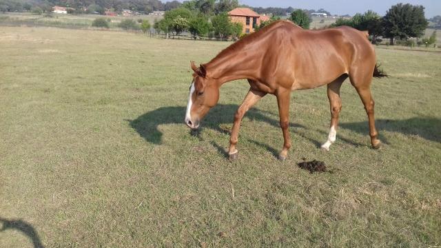 Stunning Chestnut TB mare