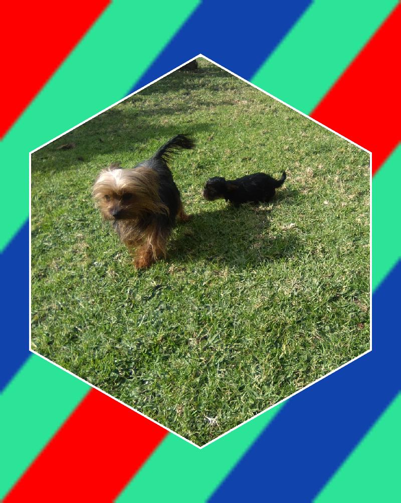 Pedigree miniature yorkie female puppies for sale