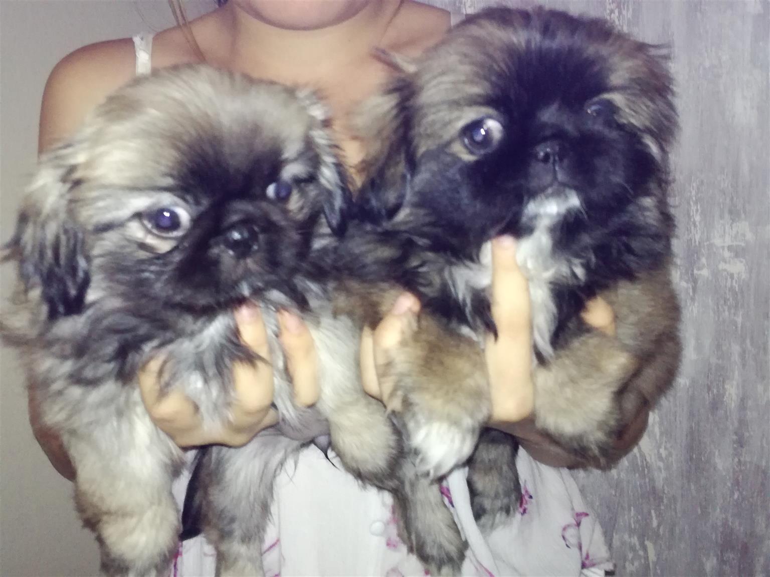 Pekingese hondjies te koop
