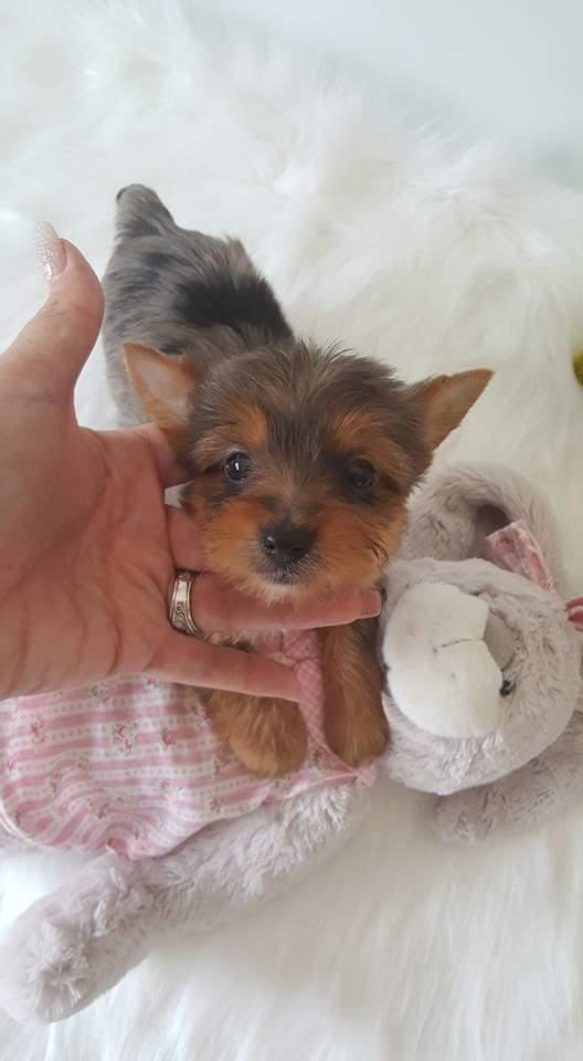 Tiny Yorkshire terrier girl