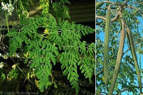 Moringa Oleifera. DrumStick Tree