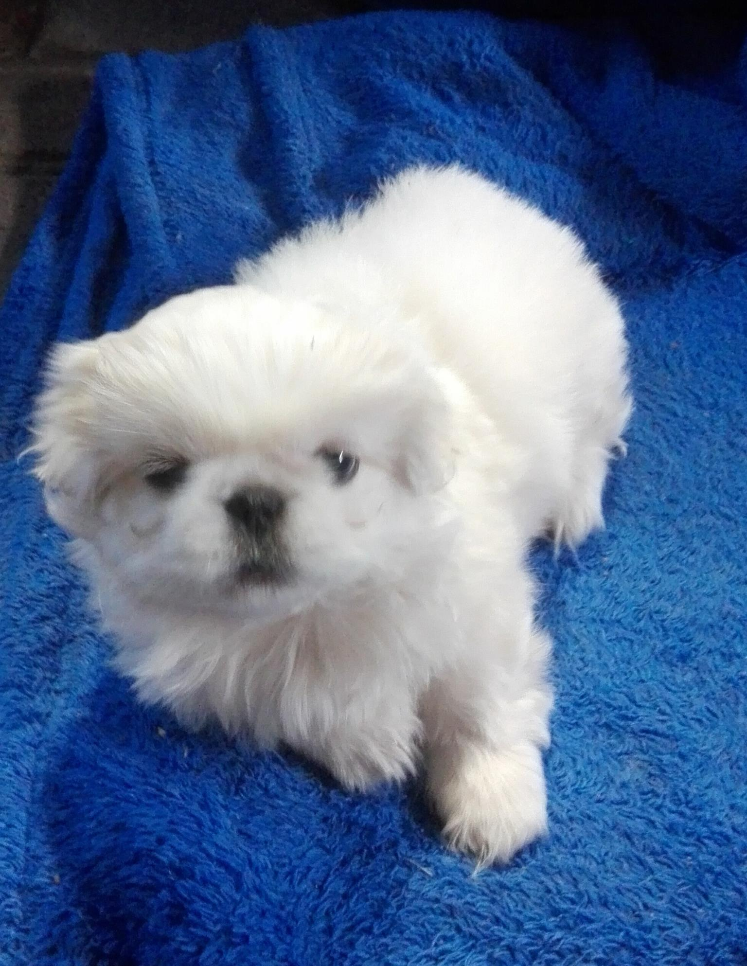 Pekingese te koop / for sale