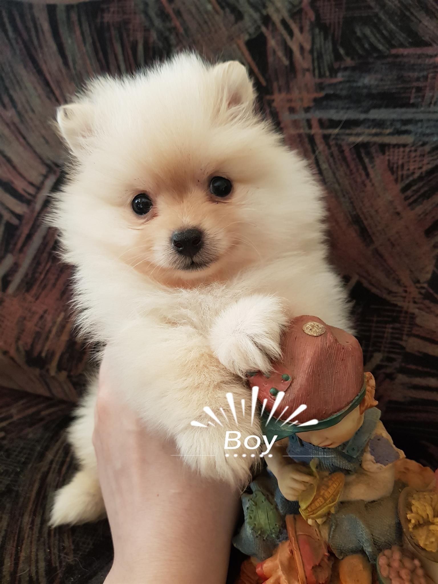 Toy pom male puppies for sale