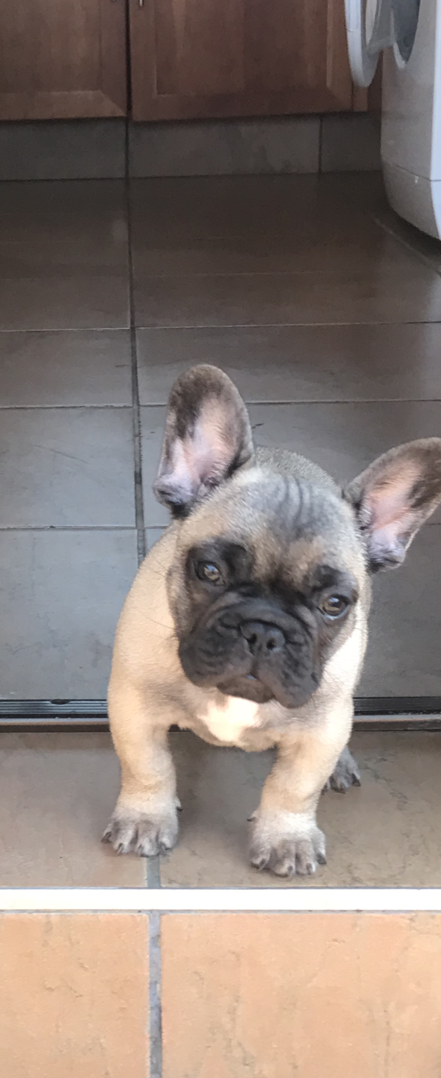 Pedigree french bulldog puppy for sale