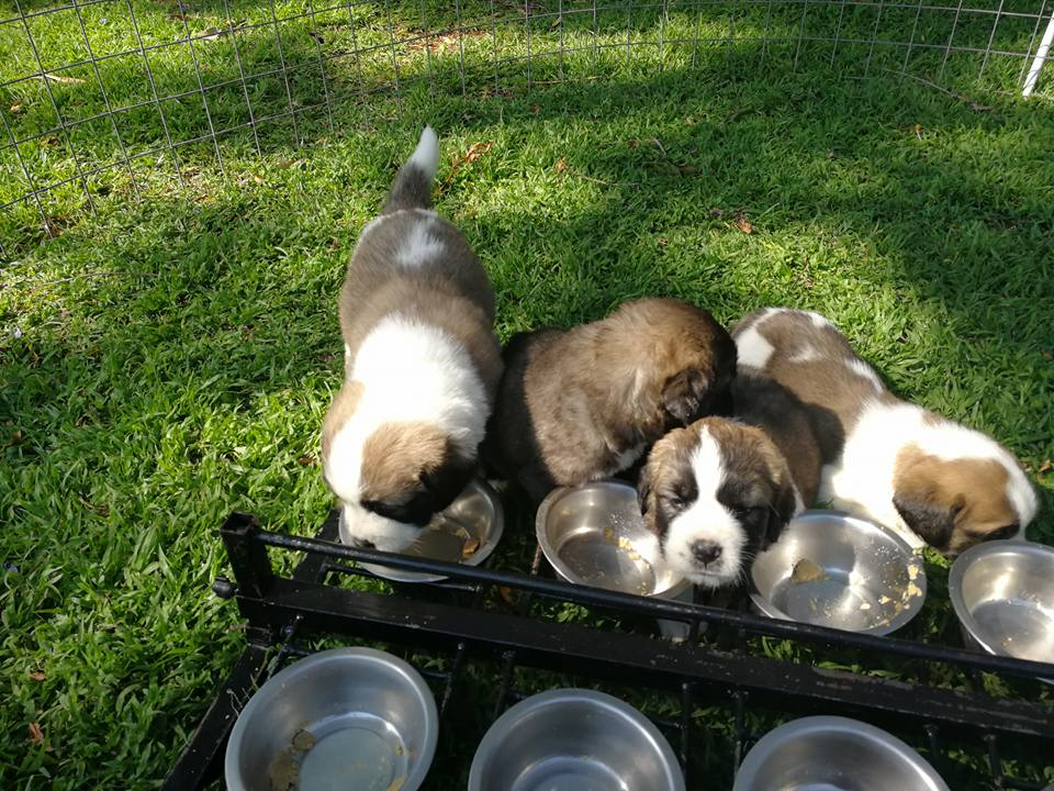 St Bernard Puppies