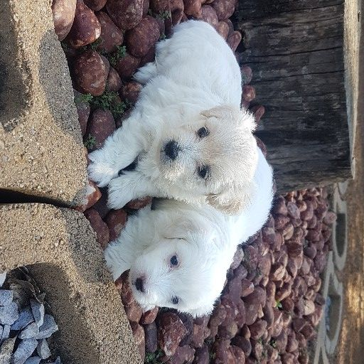 Beautiful mini Maltese puppies