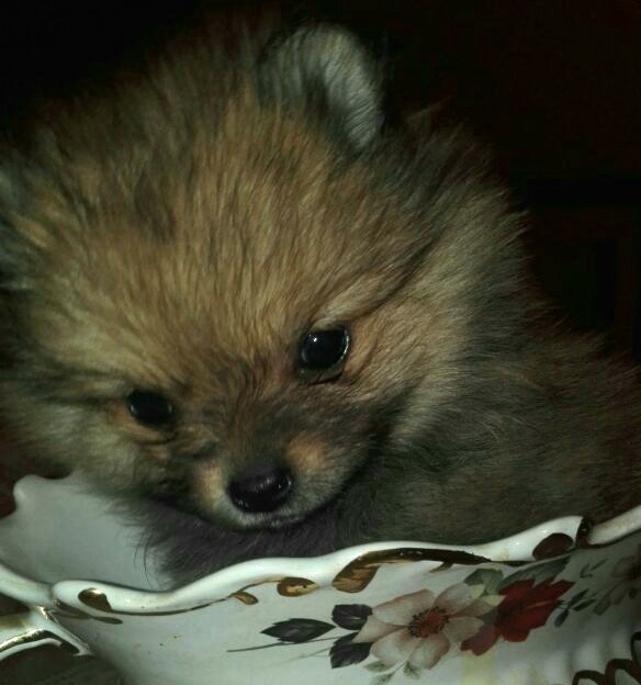 Toy pom female puppy for sale