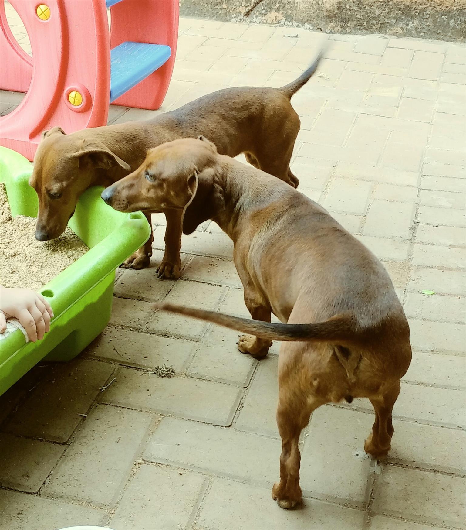 female dachshunds
