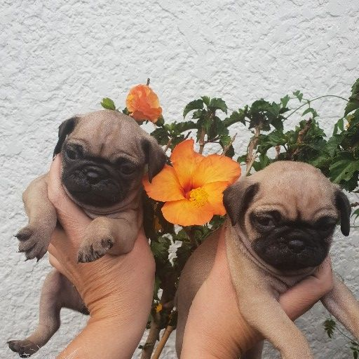 Pug male and female