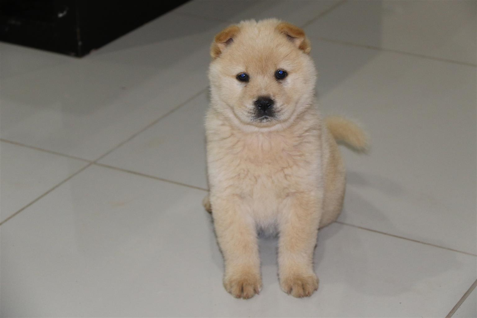 Thoroughbred Chows for sale vaccinated/dewormed 8 weeks old - 1 male and 1 female R2000.00 each
