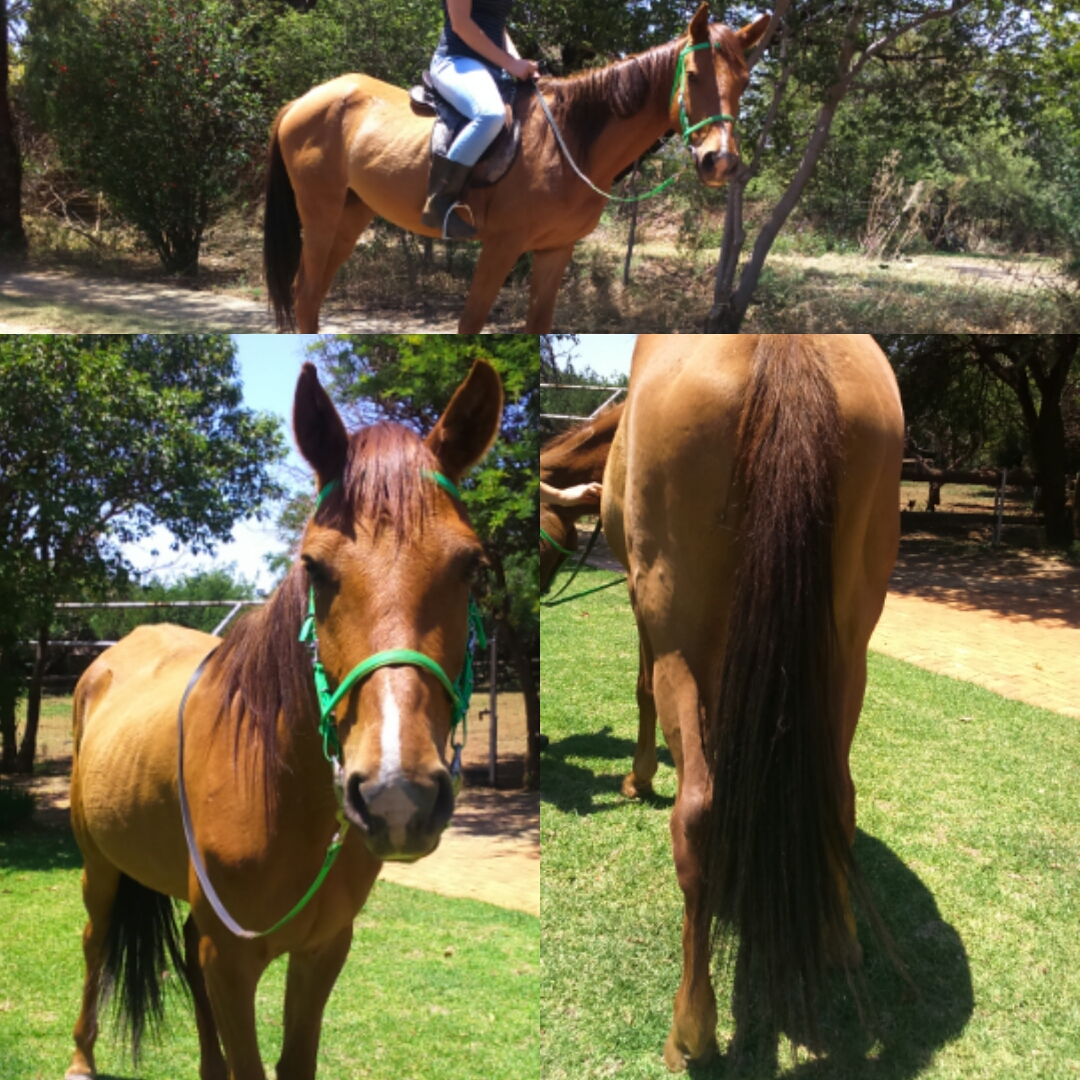 15HH Filly