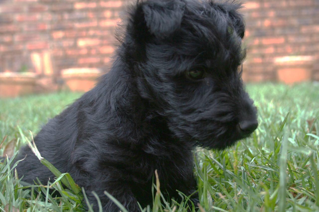 Beautiful male Scottish Terrier Pup for sale