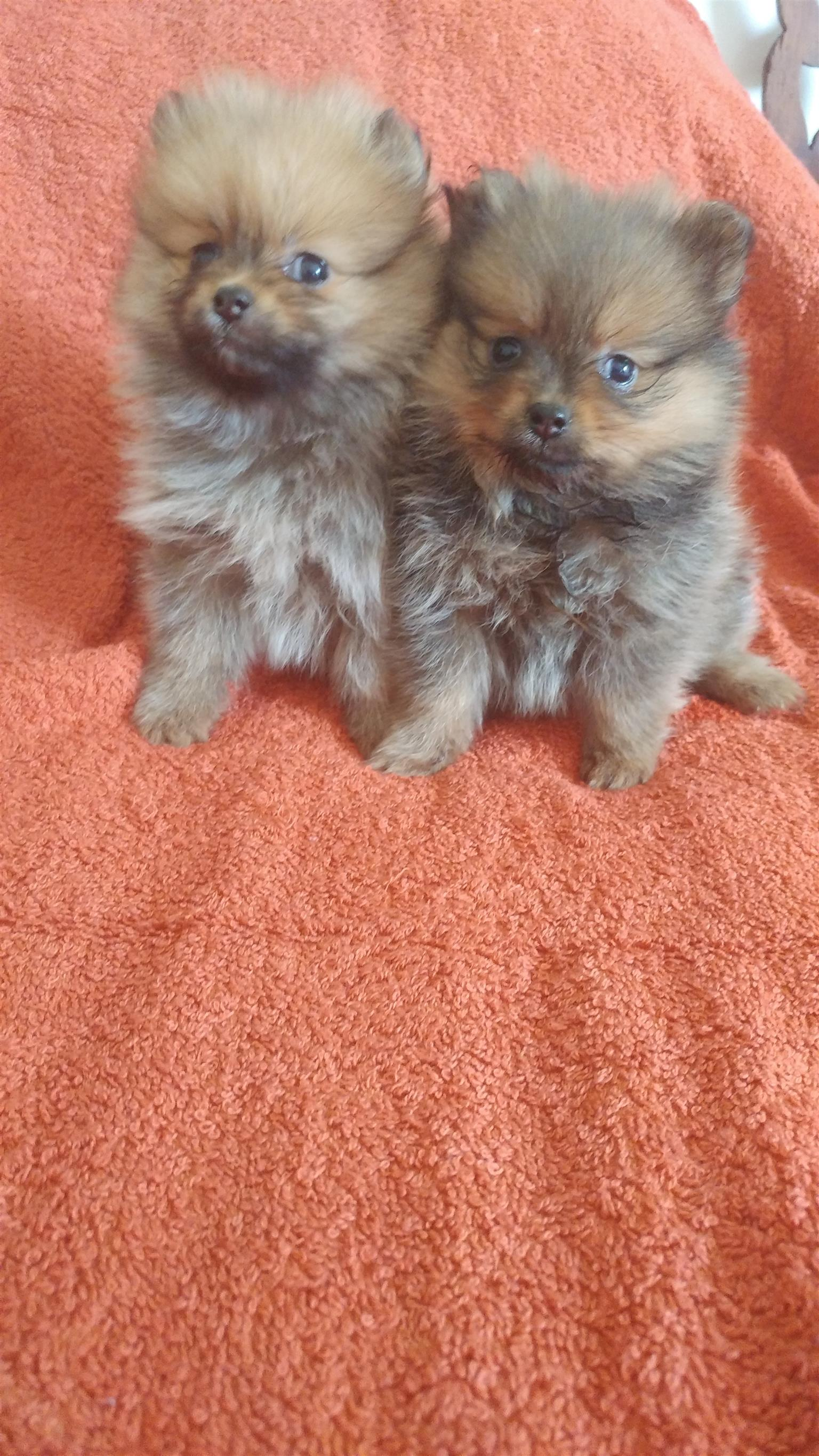 Pocket size and Miniature Toypom ( pomeranian )