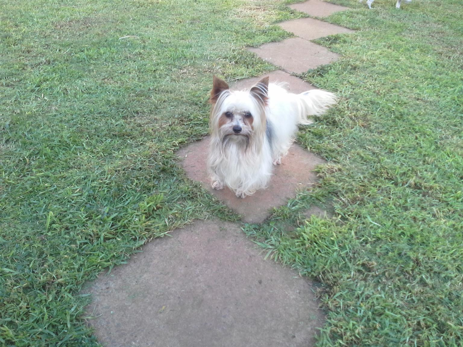 Yorkshire Terrier adult male and female